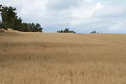 Irish Farm Crops, oats