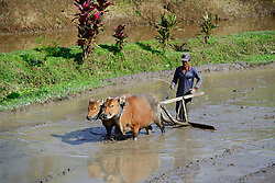 23.07.2014, Bali, IDN, Natur und Sehenswuerdigkeiten in Indonesien, im Bild Reisbauer bearbeitet ein Reisfeld mit Ochsen an den Reisterassen von Jatiluwih, Bali, Indonesien. EXPA Pictures © 2014, PhotoCredit: EXPA/ Eibner-Pressefoto/ Schulz<br /> <br /> *****ATTENTION - OUT of GER*****
