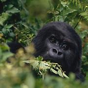 Adult mountain gorilla foraging in Volcanoes National Park Rwanda, Africa.