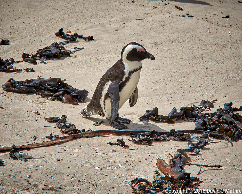 African Penguin at Boulders Beach near Simon's Town in the Western Cape province of South Africa. Image taken with a Leica T camera and 23 mm f/2 lens (ISO 100, 23 mm, f/14, 1/160 sec).