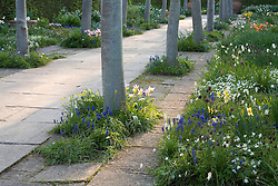 The Lime Walk at Sissinghurst Castle Garden in spring