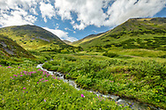 Field of wildflowers in Chugach National Forest along Palmer Creek Valley in Southcentral Alaska. Summer. Afternoon.