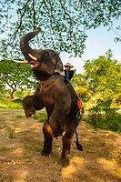 An elephant balancing on it's hind legs, Elephantstay (Elephant village), Ayutthaya, near Bangkok, Thailand