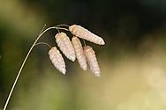 Greater Quaking Grass - Briza maxima