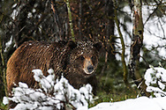 A young grizzly bearin the forest during a spring snow.