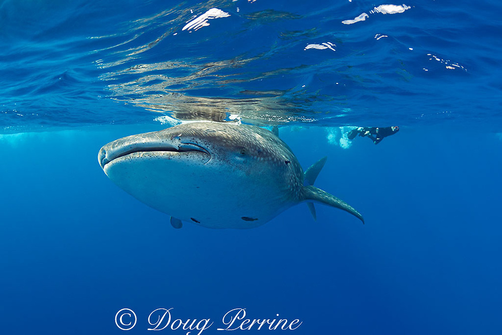 whale shark, Rhincodon typus, with remoras attached to underside, and snorkelers pursuing above, Kona Coast, Hawaii Island ( the Big Island ), Hawaiian Islands ( Central Pacific Ocean )