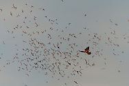 A Red-tailed Hawk (Buteo jamaicensis) catching Mexican Free-tailed Bats (Tadarida brasiliensis) in the Edward's Plateau, Texas.