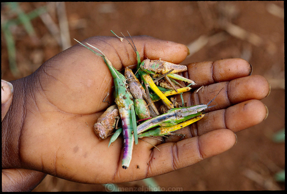 Grasshoppers, with the wings removed, in the hand of a Vendan child in northeastern South Africa, collected from the field near his village. After a half-hour foraging, the grasshoppers are brought back to one of the mothers to cook and then the children eat them with porridge. The children couldn't agree on whether meat or insects taste best but all agree that the grasshoppers, as well as mopane worms, winged termites, and locusts are enjoyable. Masetoni Village, (Venda). South Africa. (Man Eating Bugs page 7 Top Left. See also page 136-137)