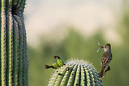 A Brown-crested Flycatcher (Myiarchus tyrannulus) perches before bringing an insect to its nest in a Saguaro cactus (Arizona)