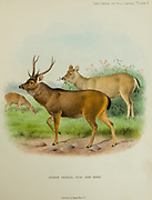 The sambar (Rusa unicolor) stag and hind and is a large deer native to the Indian subcontinent, South China, and Southeast Asia from the book ' The deer of all lands : a history of the family Cervidae, living and extinct ' by Richard Lydekker, Published in London by Ward 1898
