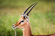 Impala (Aepyceros melampus). Photographed in Tanzania