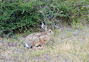 A European Hare, Liebre, Brown Hare,  (Lepus europaeus) ceouches in front of typical patagonian flora, Nothofagus species and Berberis species. The hare is an introduction from Europe. Torres del Paine National Park,  Republic of Chile 19Feb13