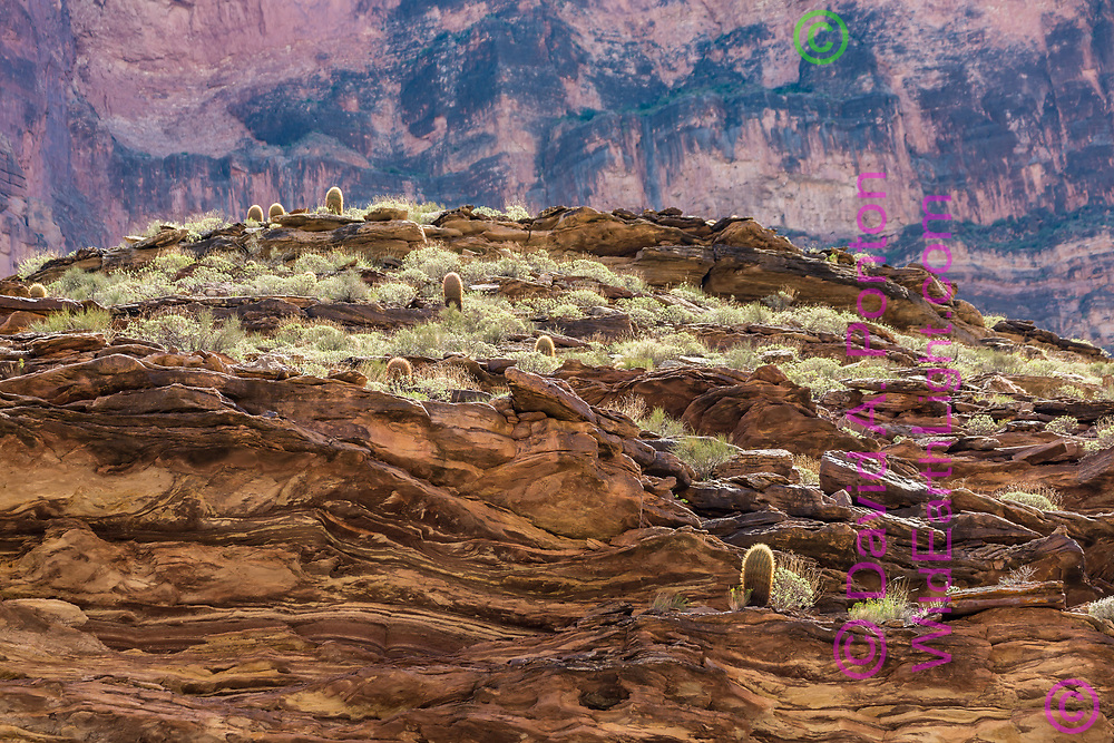 Barrel cactus appear on the lower slopes and ledges of the western end of the Grand Canyon with very tall vertical cliffs to the rim level, © David A. Ponton