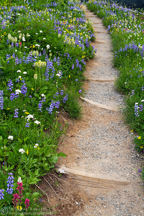 Lupines and other wildflowers flank the Tipsoo Lake trail in Mount Rainier National Park in Washington State, USA.