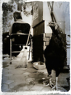 Rooster tied up in a yard behind an elderly man sitting in a chair, Hanoi, Vietnam, Southeast Asia