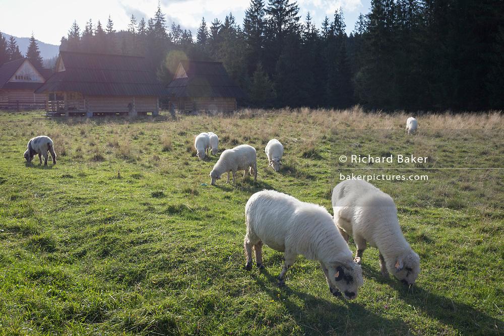 Grazing sheep eat the lush grasses in Dolina Chocholowska, a hiking route in the Tatra National Park, on 17th September 2019, near Zakopane, Malopolska, Poland.