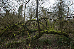 Denham, UK. 4 February, 2020. A moss-covered tree in Denham Country Park threatened with imminent destruction by the HS2 high-speed rail link. Planned works in the immediate area are believed to include the felling of 200 trees and the construction of a roadway, Bailey bridge, compounds, fencing and a parking area. Credit: Mark Kerrison/Alamy Live News