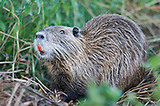 Nutria, (Myocastor coypus) is native to South America. Its distribution ranges from middle Bolivia and southern Brazil to Tierra del Fuego. As a result of escapes and liberations from fur farms, feral populations now occur in Europe, Asia, and North America.