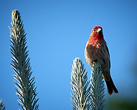 House Finch. Image taken with a Nikon D2xs camera and 70-200 mm f/2.8  lens with a 1.4x TC-EII teleconverter.