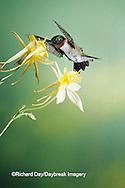 01162-05308 Ruby-throated Hummingbird (Archilochus colubris) male on Yellow Columbine (Aquilegia chrysantha) Shelby Co.  IL