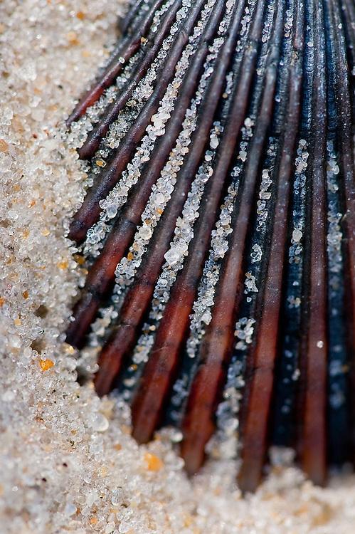 Close up detail of a scallop shell, Assateague Island.