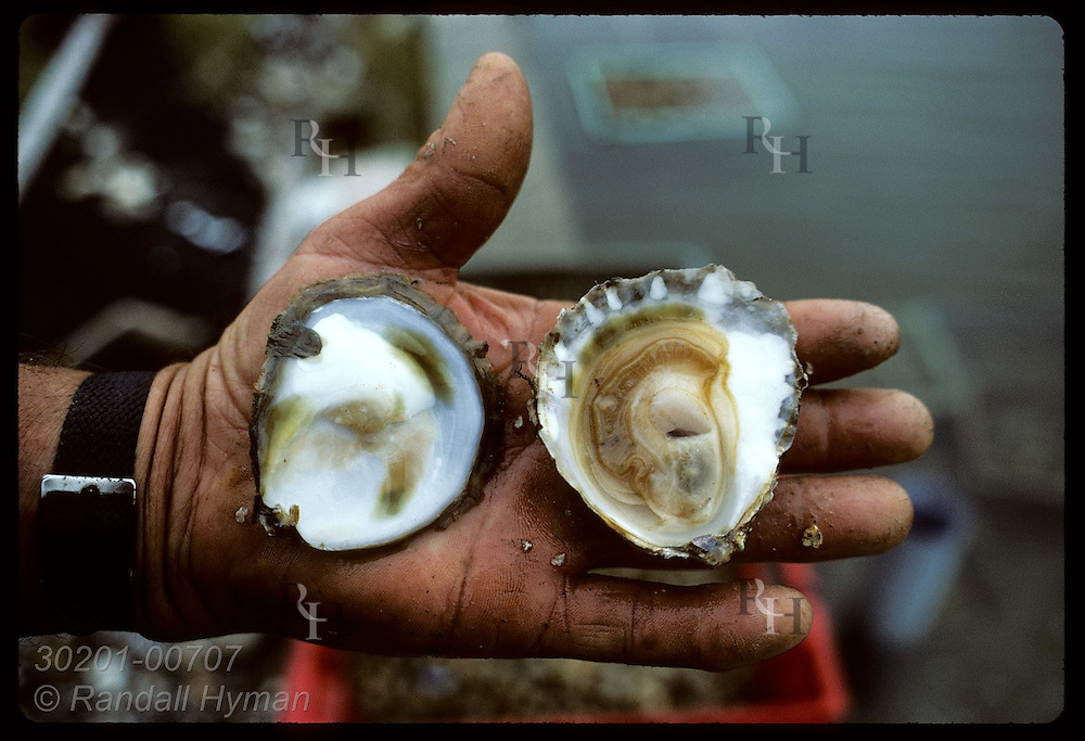 Opened European flat oyster (Ostrea edulis) in oysterman's calloused, scarred hand. France