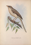 Jungle Babbler (Timalia Somervillei syn Turdoides somervillei) from Zoologia typica; or, Figures of new and rare animals and birds described in the proceedings, or exhibited in the collections of the Zoological Society of London. By Fraser, Louis. Zoological Society of London. Published London, March 1847