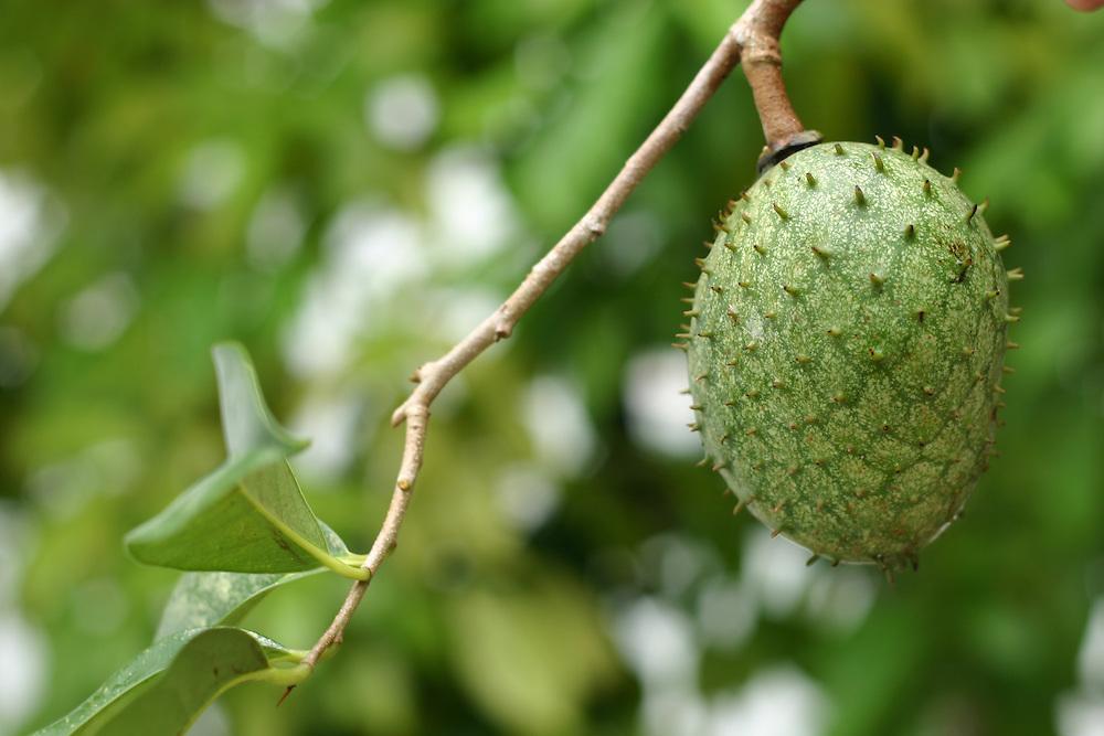 Manaus_AM, Brasil.<br /> <br /> Fruta amazonica graviola (Annona muricata) em Manaus, Amazonas.<br /> <br /> Amazon fruit Soursop (Annona muricata) in Manaus, Amazonas.<br /> <br /> Foto: JOAO MARCOS ROSA / NITRO