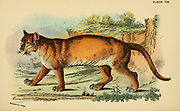 cougar (Puma concolor Here as Felis concolor) is a large cat of the subfamily Felinae. Native to the Americas, its range spans from the Canadian Yukon to the southern Andes in South America and is the most widespread of any large wild terrestrial mammal in the Western Hemisphere. From the book ' A handbook to the carnivora : part 1 : cats, civets, and mongooses ' by Richard Lydekker, 1849-1915 Published in 1896 in London by E. Lloyd
