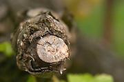 Old vine. Semillon. Chateau Nairac, Barsac, Sauternes, Bordeaux, France