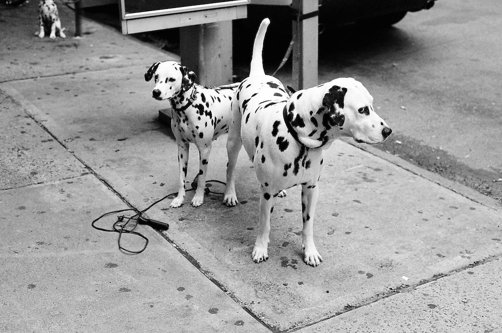 "Dalmatian Family, Upper West Side – 8""x12"", Digital photo print, edition 1/75, 2013"