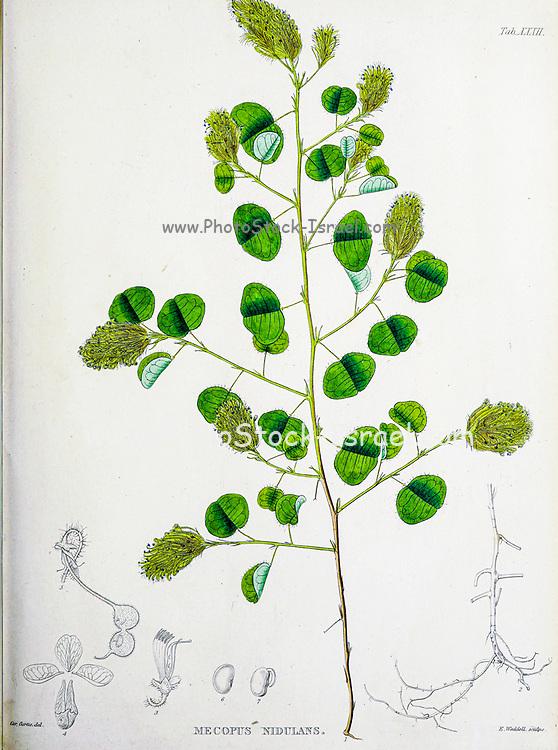 Mecopus nidulans from the 19th century manuscript 'Plantae Javanicae rariores, descriptae iconibusque illustratae, quas in insula Java, annis 1802-1818' (Java Plants, Description of plants on the island of Java) by Horsfield, Thomas, 1773-1859 Published in Latin in London in 1838