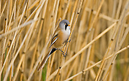 Bearded Tit/Bearded Reedling Panurus biarmicus L 16-17cm. Reedbed specialist with a rounded body and long tail. Distinctive call leads to affectionate nickname of 'pinger'. Forms flocks outside breeding season. Sexes are dissimilar<br /> Adult male has sandy brown body and tail, with black and white markings on wings. Head is blue-grey with black 'moustache'. beady yellow eye and yellow bill. Adult female is similar but head is sandy brown. Juvenile is similar to adult female but back is blackish, throat is whiter and eye colour is darker. Voice Utters diagnostic, high-pitched ping call. Song is seldom heard. Status Rather scarce and associated exclusively with extensive reedbeds.