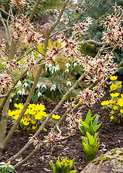 Hamamelis × intermedia 'Strawberries and Cream' with Eranthis × tubergenii 'Guinea Gold' and Galanthus nivalis 'Tiny'