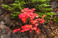 A vine maple in gorgeous contrast against a conifer and rocky wall at low elevation on Mount Rainier's northern slope. Nothing like nature photography for color on a rainy, cold, autumn day!