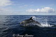 offshore bottlenose dolphins, Tursiops truncatus, in the Indian Ocean, are larger, heavier, darker, and have shorter snouts than coastal bottlenose dolphins, Tursiops aduncus, Wild Coast, Transkei, South Africa ( Indian Ocean )