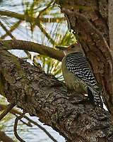 Red-bellied Woodpecker (Melanerpes carolinus). Weedon Island. Pinellas County, Florida. Image taken with a Nikon D300 camera and 200 mm f/2 VR lens.