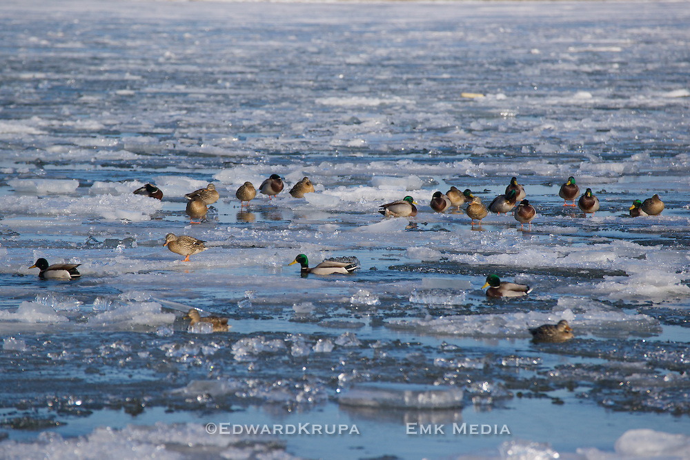 Group of Mallards sunning themselves on water and ice as spring approaches. Cherry Beach,Toronto,Ontario,Canada.