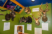 Stuffed heads of invasive feral goats, pigs, and deer educate visitors at Kokee Natural History Museum, Kauai, Hawaii, USA. The scenic Koke'e State Park is in northwestern Kauai in the Hawaiian Islands, USA. Perched on a plateau between 3200 and 4200 feet, the park gets temperatures at least 15 degrees Fahrenheit cooler than at sea level. Koke'e receives 50-100 inches of rain per year, mostly from October to May. Its forests are dominated by Acacia koa and ohia lehua (Metrosideros polymorpha) trees.
