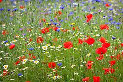 Sown wildflower meadow at Hidcote Manor Garden. Common Field Poppy, Ox eye daisies, cornflowers, corncockle. Papaver rhoeas, Centaurea cyanus