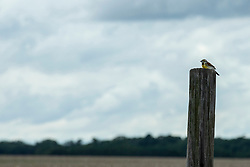 A Dickcissel (Spiza americana) sits on a wooden fence post in rural McLean County Illinois