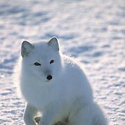 Arctic Fox, (Alopex lagopus) Portrait of adult. Churchill, Manitoba. Canada.