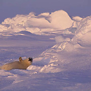 Harp Seal, (Pagophilus groenlandicus) Pup on ice pack. Evening sunset. Nova Scotia. Canada. Spring.
