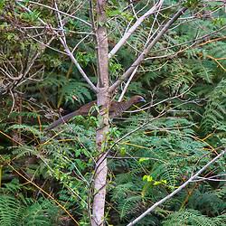 """Aracuã-de-barriga-branca (Ortalis araucuan) fotografado em Vargem Alta, no Espírito Santo -  Sudeste do Brasil. Bioma Mata Atlântica. Registro feito em 2018.<br /> ⠀<br /> ⠀<br /> <br /> <br /> <br /> <br /> ENGLISH: East Brazilian Chachalaca photographed in Vargem Alta, Espírito Santo - Southeast of Brazil. Atlantic Forest Biome. Picture made in 2018."""