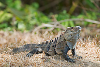 Black spiny-tailed iguana, Ctenosaura similis. Carara National Park, Costa Rica