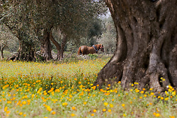 Horse in the countryside among olive trees.