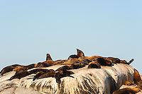 Duiker Island is an island off Hout Bay, Cape Town, South Africa. Most known for it's large colony of fur seal, known as Cape fur seal.