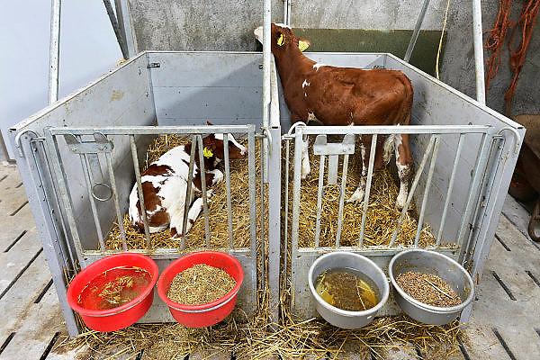 Nederland, Hernen, 29-6-2014Kalveren staan in boxen, kisten. Ze hebben water, stro en een bak voer, veevoer.Foto: Flip Franssen/Hollandse Hoogte