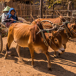 In a tiny village along the Irrawaddy river. Whilst most ox carts in Bagan are used as taxis, in remote areas they're still the main mean of agricultural transporation. The bullock cart is a common means of transportation used traditionally since ancient times. They are still used today where modern vehicles are too expensive or the infrastructure does not favor them. Bullock comes from the old English for castrated male cattle. Used especially for carrying goods, the bullock cart is pulled by one or several bullocks or oxen.