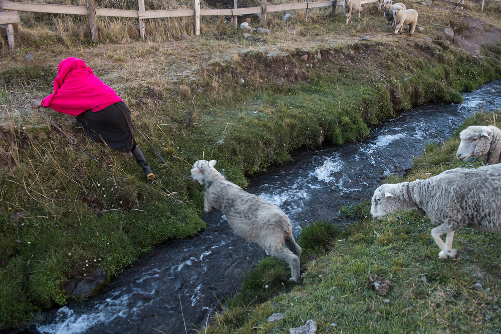 Indian woman & sheep<br /> Maria Rosa Cayambe<br /> Pulingue San Pablo community<br /> Chimborazo Province<br /> Andes<br /> ECUADOR, South America